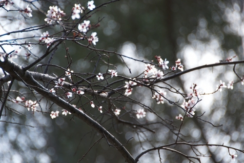 blossoms grace an empty branch